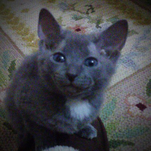 Cute Pets Cute Cats Cute Baby Kitty Blue Eyes Grey