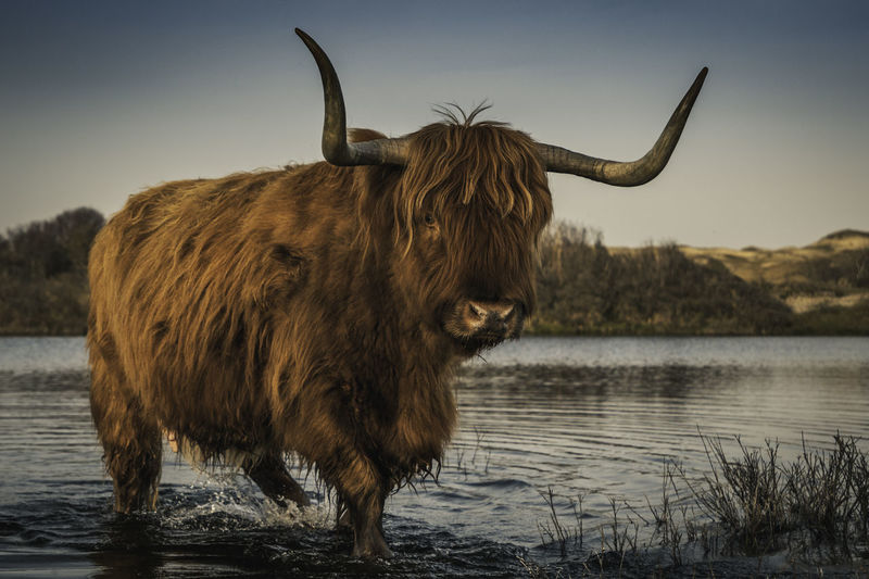 Highland Cattle In Lake Against Clear Sky