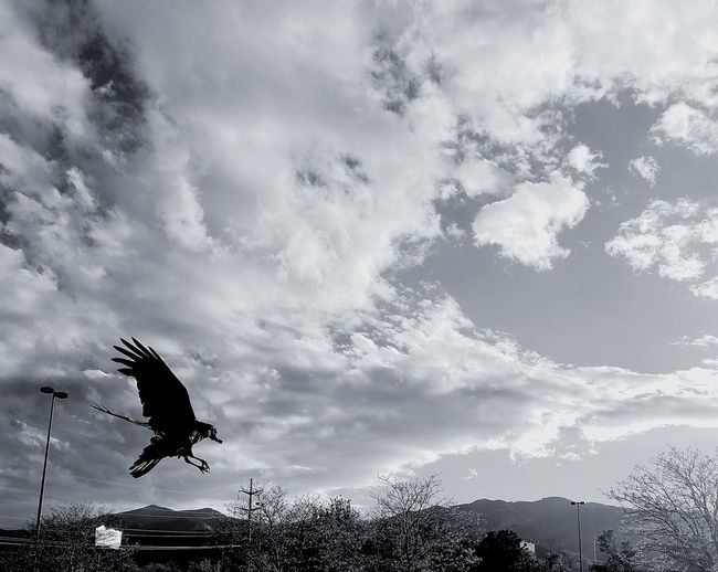 EyeEm Flight Raven Flying Cloud - Sky One Animal Mid-air Spread Wings Good Catch  Taking Photos ❤ EyeEm Best Shots Afternoon Sun Colorado Springs CO USA