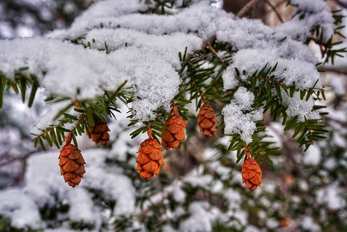 Close-up of Pine Cones EyeEm Best Shots EyeEm Nature Lover EyeEm Selects EyeEmNewHere Pine Beauty In Nature Branch Cold Temperature Conifer  Coniferous Tree Focus On Foreground Freshness Frozen Growth Nature Outdoors Pine Cone Pine Tree Snow Tranquility Tree Weather Winter