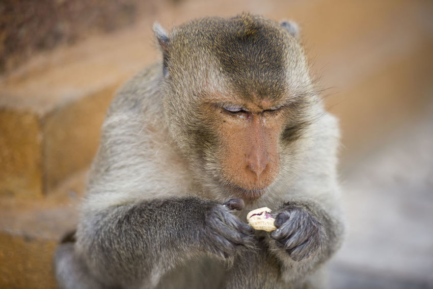 Macaque Monkey at Lopburi, Thailand City Eating Nuts Thailand Animal Themes Animal Wildlife Animals In The Wild Close-up Day Detail Eating Face Focus On Foreground Fur Macaque Mammal Monkey No People One Animal Outdoors Primate Street Wild
