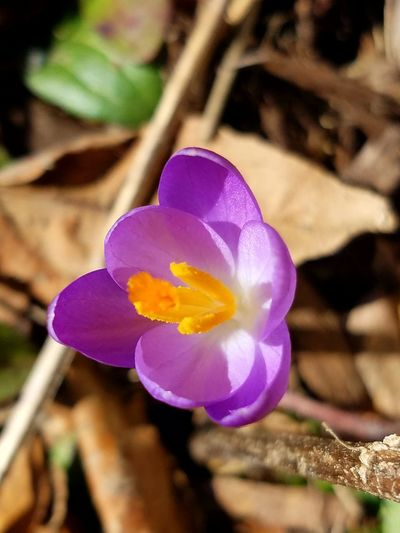 Flower Nature Petal Beauty In Nature Fragility Plant Freshness Close-up Flower Head No People Day Outdoors Growth Popular Winter February 2017 Crocus Purple Beauty In Nature Freshness The Purist (no Edit, No Filter)