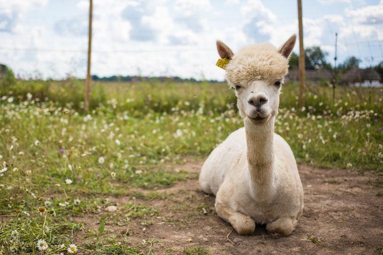 Portrait of llama on relaxing grassy field in ranch against sky