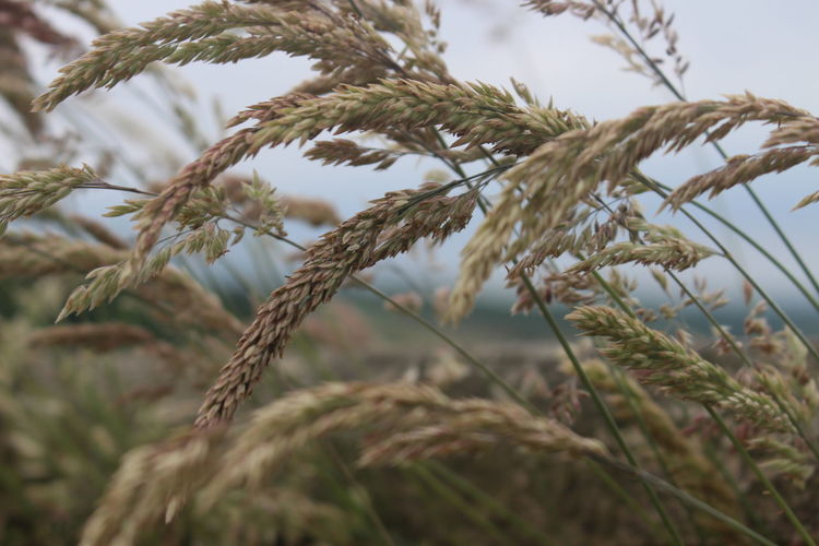 Beauty In Nature Ear Of Wheat Growth Nature No People Outdoors Plant Wheat The Week On EyeEm
