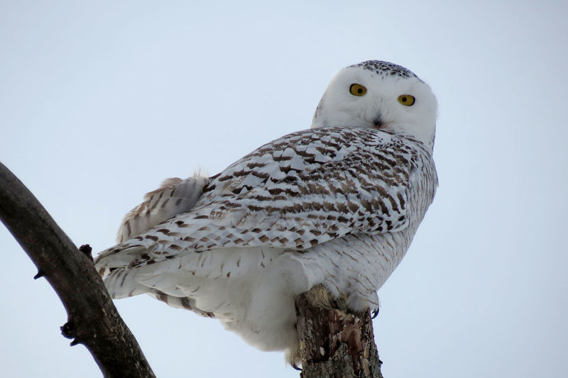 Animal Animals In The Wild Bird Bird Of Prey Bubo Scandiacus One Animal Owl Perching Snowy Owl Wildlife Winter Zoology