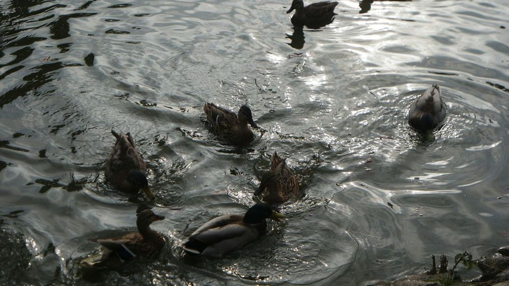 Samsungnx3000 Pond Life Ducks Unfiltered Original Unedited.
