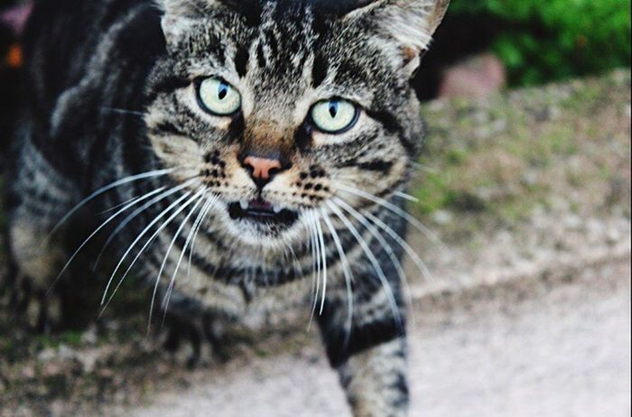 One Animal Animal Themes Looking At Camera Portrait Whisker Domestic Cat Feline Animals In The Wild Nature