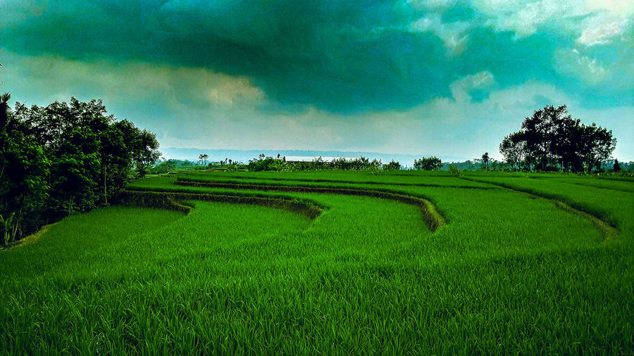 Tree Rural Scene Agriculture Field Sky Landscape Green Color Cloud - Sky Rice Paddy Cultivated Land Plantation Ear Of Wheat Rice - Cereal Plant Farmland Agricultural Field Farm Cereal Plant