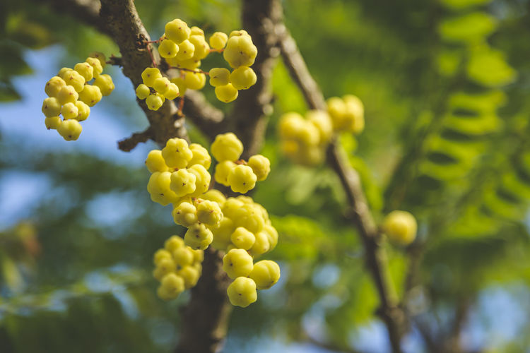 Star Gooseberry Leaves Beauty In Nature Food And Drink Fruit Grape Green Color Growth Low Angle View Nature Plant Sour Fruits Star Gooseberry Tree