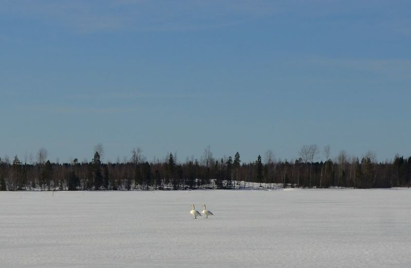 Little bit too early for swans to arrive. Still funny to see these two stepping around frozen lake. Animal Themes Beauty In Nature Clear Sky Cold Temperature Copy Space Early Field Finland Frozen Lake Icy Kinnula Lake Landscape Nature One Animal Outdoors Scenics Season  Sky Snow Spring Swan Tranquility White Color Winter