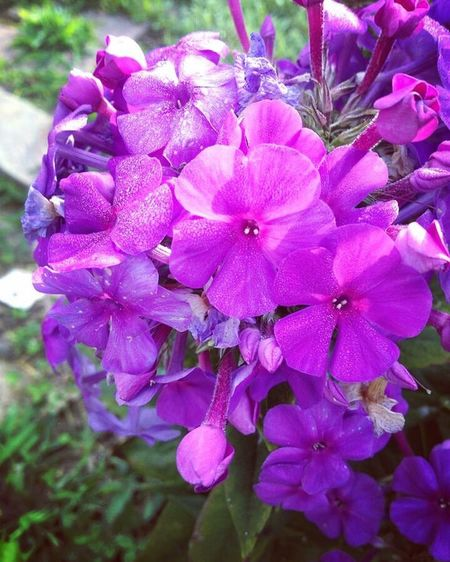 Phlox 🌸 Purple