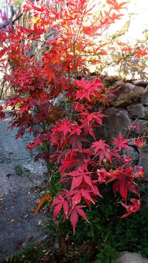My beautiful osakazuki acerAcer Palmatum Osakazuki Acer Acerphotography Japan Acer Tree Autumn Colors Beauty In Nature In The Wood Mygardentoday Acerorosso Acero Giapponese