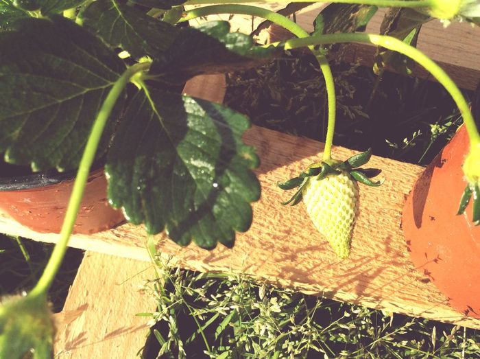 Green Strawberry Raw Nature Growing Green Leaf Leaf Grass Pot Growing Strawberry Green Strawberry Natural
