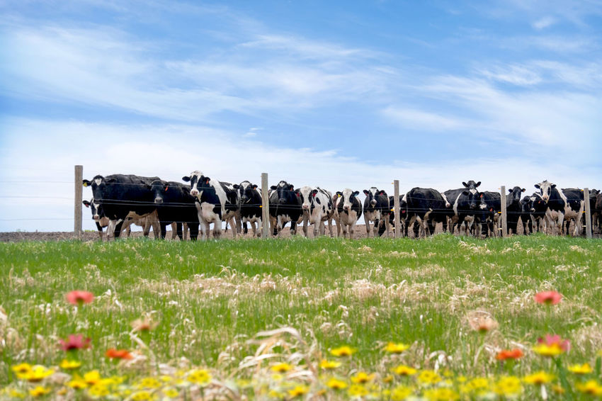 Animal Themes Cows In A Field Cows In Flowers Day Domestic Domestic Animals Field Flowers Group Of Animals Herd Land Livestock Nature Outdoors