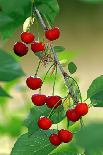 Mature cherries on tree branch Cherry Beauty In Nature Berry Fruit Cherry Tree Close-up Day Focus On Foreground Food Food And Drink Freshness Fruit Green Color Growth Healthy Eating Leaf Nature No People Outdoors Plant Plant Part Red Ripe Tree Wellbeing