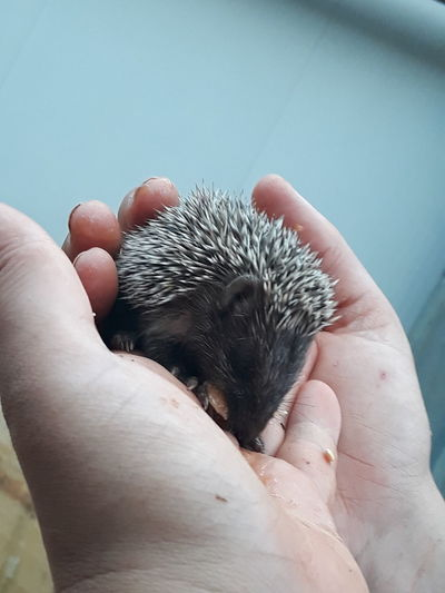 Cropped hands holding young porcupine