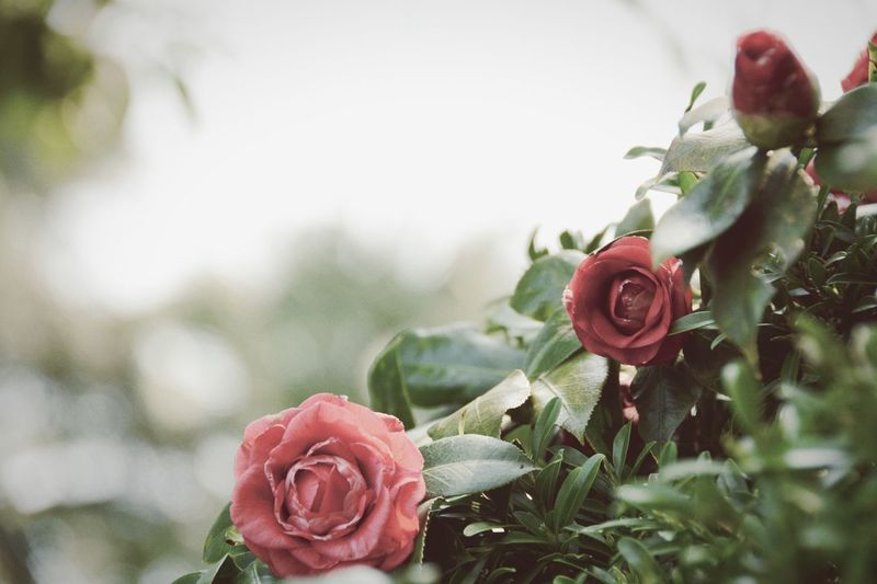Close-up of rose plant growing in park