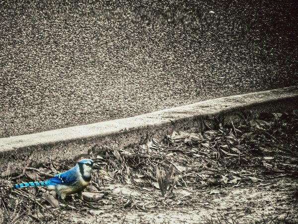 This is one bird who has the blues. Nature Color Splash TheVille Black And White