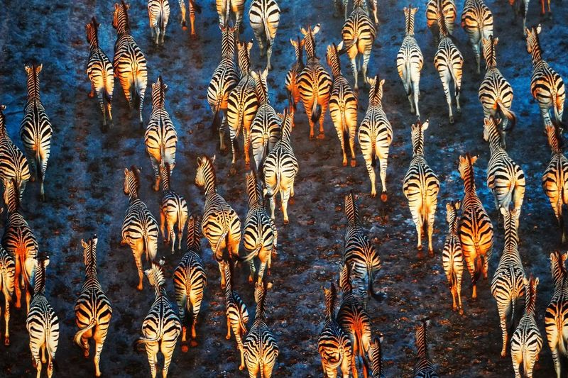 High angle view of zebras on field