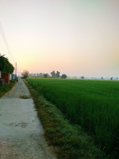 Green Green Color Greenery Green Nature Water Rice Paddy Rural Scene Agriculture Sunset Field Wet Flower Sky Grass Cultivated Land Farmland Farm Plantation Mustard Plant