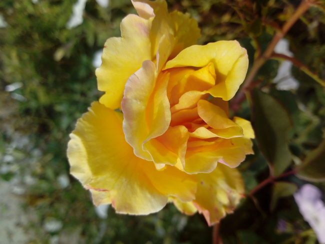 Yellow Flower Beauty In Nature Blooming Close-up Flower Flower Head Fragility Freshness Growth Nature No People Outdoors Plant Rosé Yellow Yellow Rose
