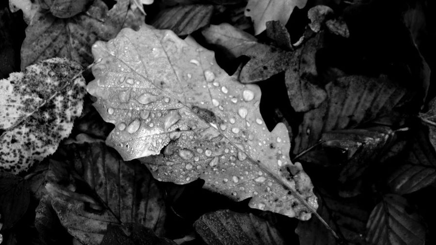 Fall leaves Waterpearls Hoarfrost Fall Fallen Leaves Autumn Leaves Autumn Wet Frosty EyeEm Best Shots EyeEm Nature Lover EyeEm Selects EyeEm Best Shots - Black + White Monochrome No People Natural Structures Blackandwhite Atmospheric Mood Still Life Backgrounds Pattern, Texture, Shape And Form Botanical Structures In Nature Leaf Close-up Plant Life