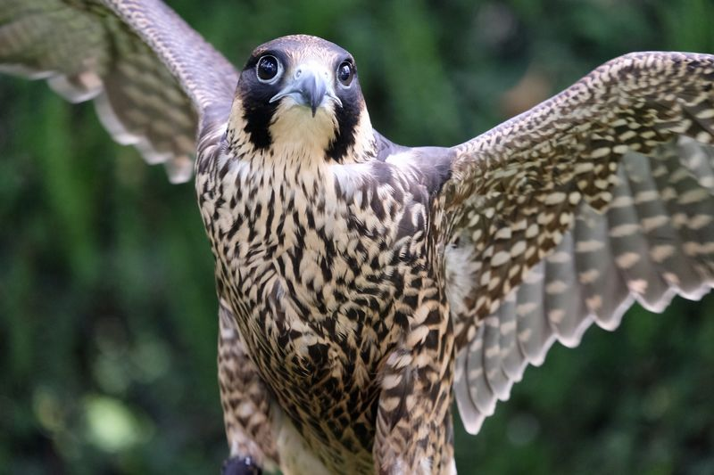 Birdeating Falco Peregrinus Falcon Falconidae Falconry Animal Animal In The Wild Animal Themes Animal Wildlife Bird Bird Of Prey Close-up Falcon - Bird Falconry Display Fast Focus On Foreground Hunting Nature One Animal Peregrine Falcon Peregrino  Wildlife Wingspan