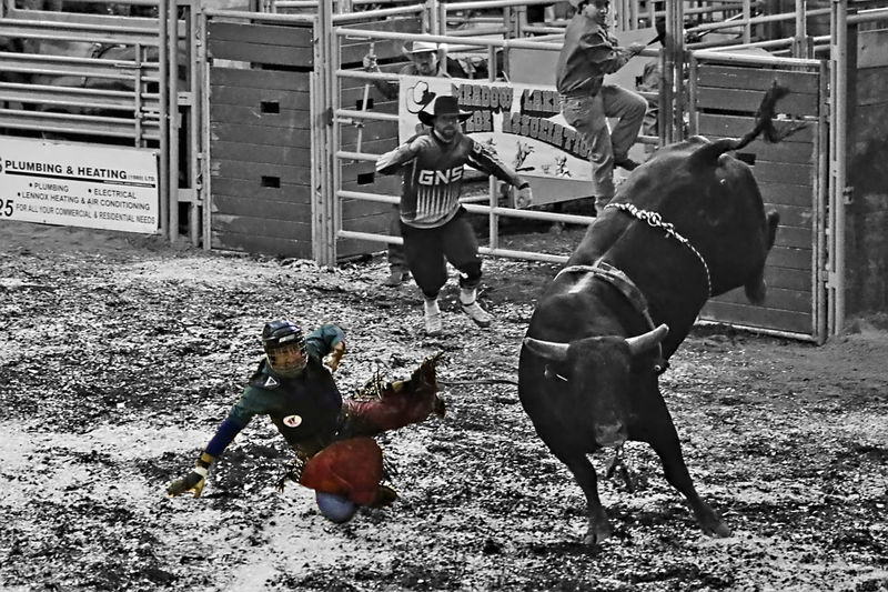 bull riding Arena Black Black And White Bull Bull Riding/rodeo Canada Colorful Experimental Flaying Fun Indoors  Lifestyles Mammal Meadow Lake Rodeo Running Saskatchewan Shoots Sport Western White Miles Away