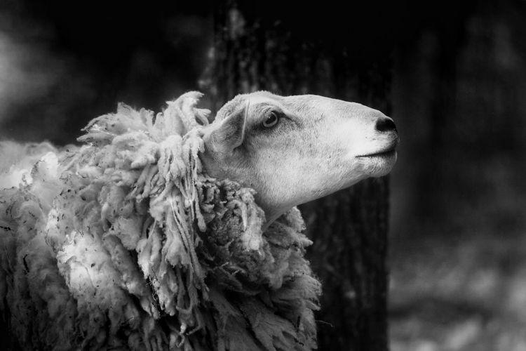 Close-up of sheep looking away