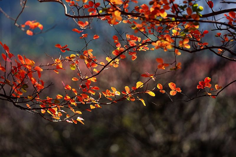 Plant Tree Autumn Beauty In Nature Nature Growth Branch Plant Part Day Leaf No People Change Red Outdoors Tranquility Focus On Foreground Orange Color Sunlight Close-up Sky