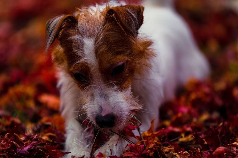 Japanese Maple Maple Leaf Fallen Leaves Bokeh Photography Bokeh Kinoko Puppy Doggy Jack Russell Terrier Jack Russell Mammal Animal One Animal Canine Dog Animal Themes Domestic Animals Domestic Close-up Pets No People Portrait Looking At Camera Focus On Foreground Vertebrate Leaf Plant Part