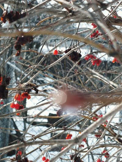 Weather Winter Wintertime Colors Nature Red Snow Berries Bloom Rowan Sticks And Twigs Focusing Sunlight