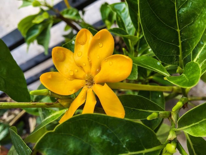 Beauty In Nature Blooming Blossom Botany Flower Flower Head Focus On Foreground Fragility Freshness Gardenia Green Green Color Growth In Bloom Kedah Gardenia Leaf Nature No People Orange Color Outdoors Petal Plant Pollen Stamen Yellow