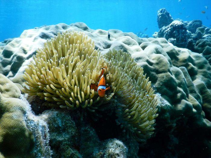 Clown fish swimming in sea