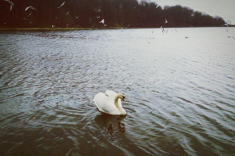 Swan River Winter Leeds, UK EyeEm Nature Lover EyeEm Birds Beautiful Animals  川 白鳥 イギリス