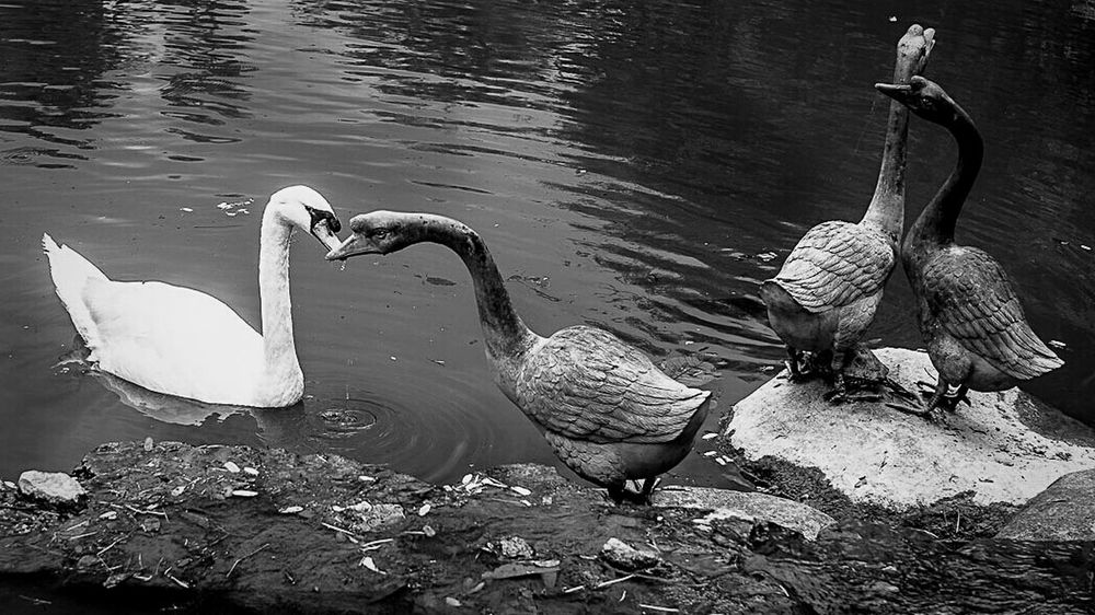 Real and Stone Swan forming a love Swans river Blackandwhite Riverbank Stone Statues