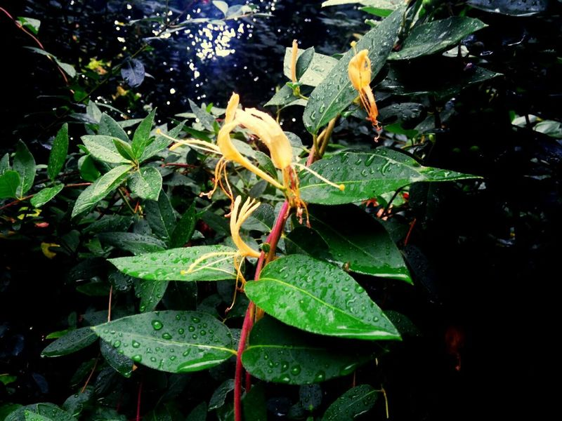 Honeysuckle Honeysuckle Rose Honeysuckle Vine Leafs Rain Raindrops Rainy Days Rain Drops Wet Leaves Taking Photos Check This Out Rainy Smells Good Smell Smell Of Nature Smelling The Flowers Good Smell