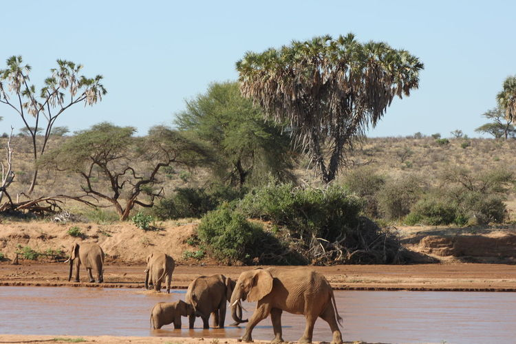 Elephants at riverbank against clear sky