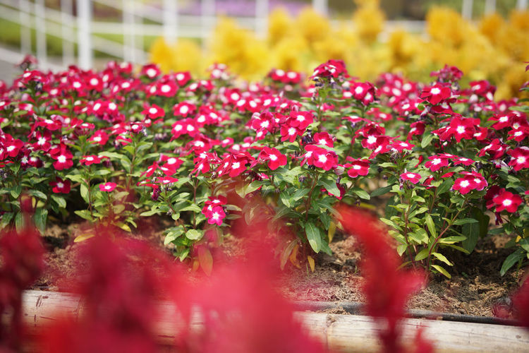 Close-up of red flowering plants in park