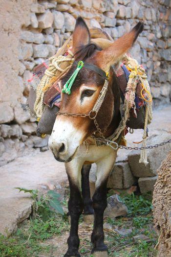 Donkey on the