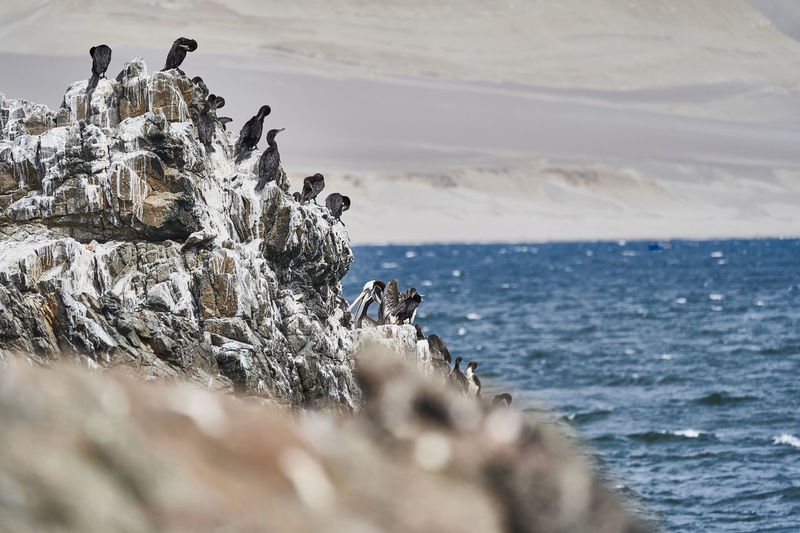 Bird colony of guanay cormorant or guanay shag, leucocarbo bougainvillii, on guano covered rocks