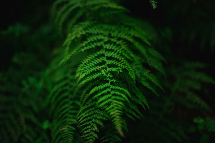 Backgrounds Beauty In Nature Black Background Botany Close-up Day Fern Foliage Forest Full Frame Green Color Growth Leaf Leaves Nature No People Outdoors Palm Leaf Plant Plant Part Rainforest Selective Focus Tranquility Tree The Great Outdoors - 2018 EyeEm Awards It's About The Journey