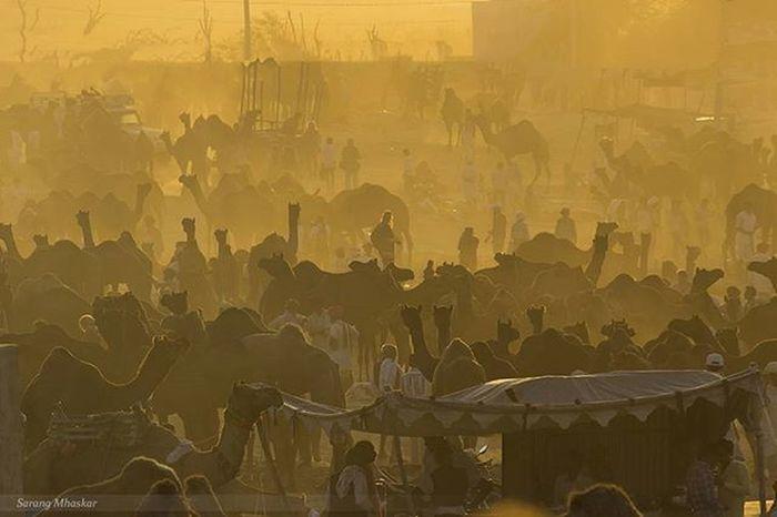 """Camel fair..."" Pushkarfair Pushkar Golden Goldenlight Camel Light Photographer Photooftheday Natgeotravel Travelphotography Travel Canon_photos Siloutte Impressions_photography India Fair Rajasthan 1x5 Natgeotravelindia"