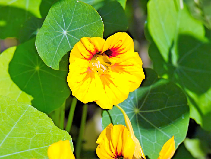 Kappuzinerkresse Kapuziner-kresse Animal Themes Beauty In Nature Blooming Close-up Day Flower Flower Head Fragility Freshness Green Color Growth Leaf Nature No People Outdoors Petal Plant Yellow