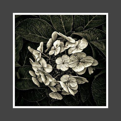 neulich im garten Iphonesia Bnw Monochrom Snapseed All_shots IGDaily Bwsquare Iphoneartist Flowers Mono_monday Nature Camera Flower Blackandwhite Bw