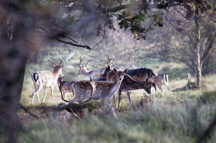 Stag Party Fallow Deer Animals In The Wild Animal Wildlife Animal Themes Tree Nature Grass No People Day Mammal Outdoors Growth Stag