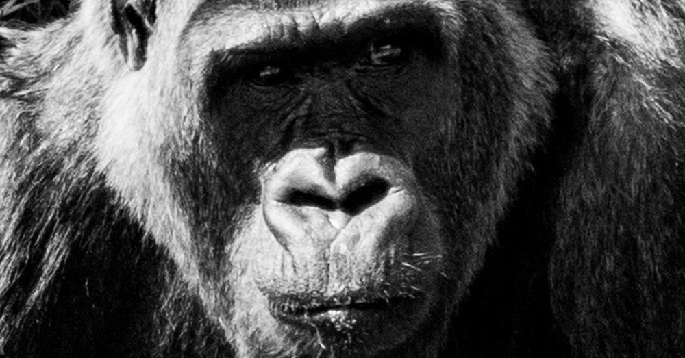 Animal Themes Animal Wildlife Animals In The Wild Ape Close-up Day Gorilla Looking At Camera Mammal Nature No People One Animal Outdoors Portrait