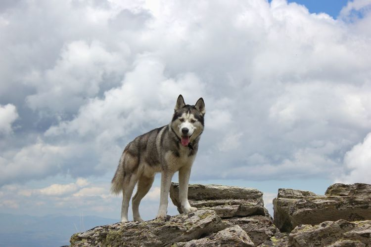 Portrait of dog standing on rock against cloudy sky