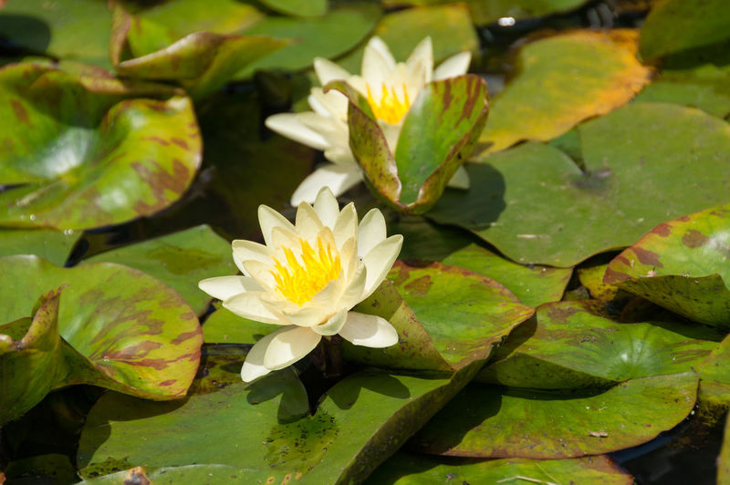 White and yellow blooming water lily, lotus flowers in a pond, floral background Lotus Waterlily Flower Lily Nature Water Plant Backgrounds Beautiful White Background Pond Flora Natural Beauty Blossom Green Lake Beauty In Nature Blooming Aquatic Sport Botany Colors Petal Yellow