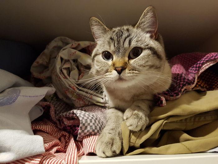 Cat British Shorthair EyeEm Selects Pets Domestic Cat Indoors  No People Domestic Animals Feline Mammal Animal Themes Close-up
